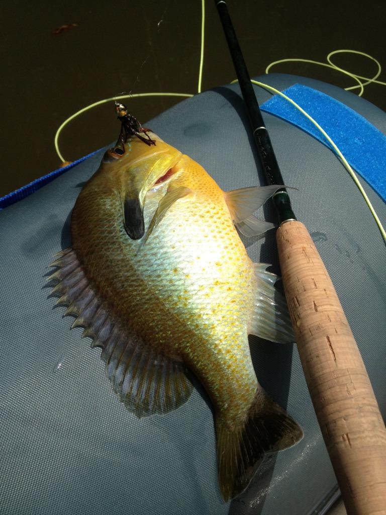 eno sunfish (sm)